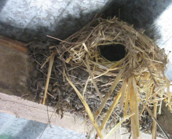 Wren using an old Swallows nest,
